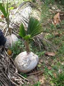 @ Lise Giguère - En prime, la naissance d'un cocotier