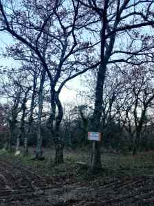 La truffière, une forêt de chênes.