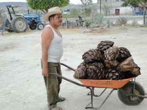 DSC06919-coeurs d'agaves brulés - Santiago Mazatlan