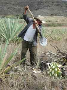 DSC06941-Ouvrier dans champ d'agaves - Santiago Mazatlan
