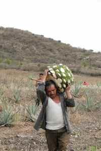 DSC06948-Ouvrier dans champ d'agaves - Santiago Mazatlan