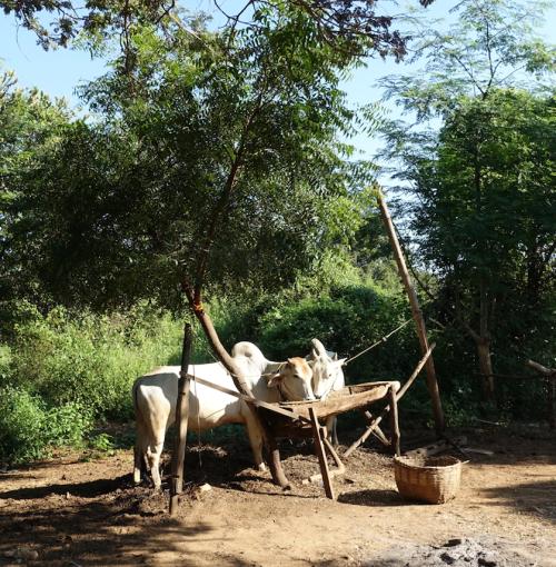 @lisegiguere- Scène de la vie quotidienne à Bagan. Myanmar