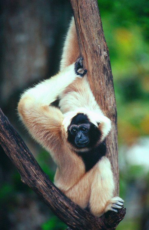 Un petit Gibbon